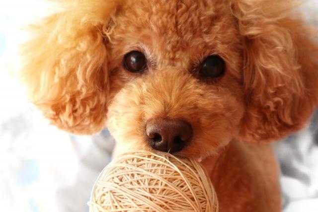 トイプードル,小型犬,ペット